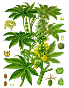 Picture of Castor oil