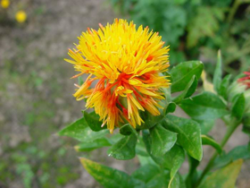 Picture of Safflower oil