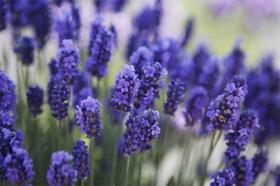 "Picture of Essential oil ""Lavender """