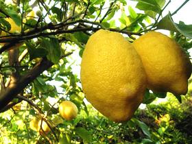 "Picture of Essential oil ""Lemon """