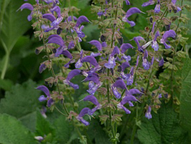"Picture of Essential oil ""Clary Sage """