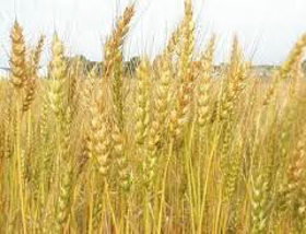 Picture of Wheat proteins