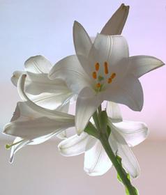 """Immagine di Fragranza """"Lilium"""""""