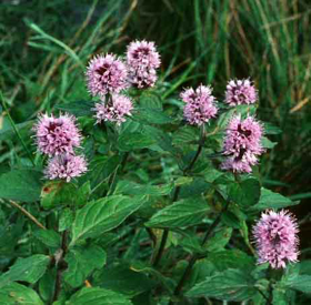 """Picture of Fragrancia """"Water Mint"""""""