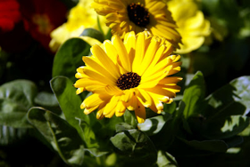 """Picture of Glycolic Extract """"Calendula"""""""