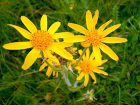 """Picture of Glycolic extract """"Arnica"""""""