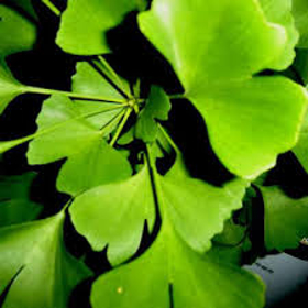 "Picture of Glycolic extract ""Ginkgo Biloba"""