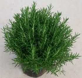Picture of Oleoresina di rosmarino