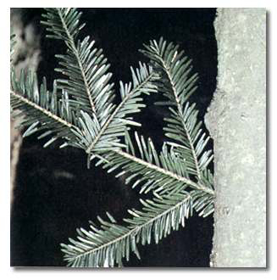 """Picture of Essential oil """"White Spruce """""""