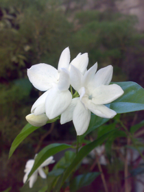 "Picture of Fragrance ""Jasmin"""