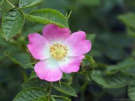 Picture of Rosehip Oi