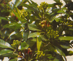 """Picture of Essential oil """"Cloves leaf """""""