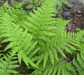 """Picture of Fragrance """" Fern """""""