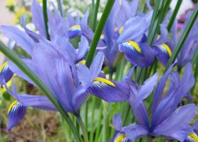 """Picture of Fragrancia """"Iris Savon"""" (N/OKO)"""