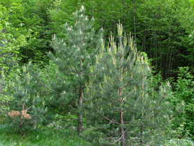 "Picture of Essential oil ""Scots pine"""
