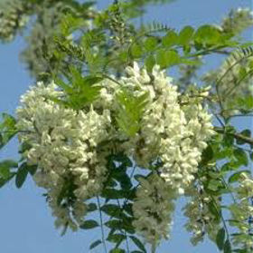 "Picture of Fragancia "" Acacia"""
