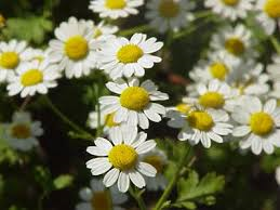 "Picture of Essential oil ""Roman Chamomile"""