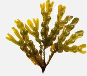 """Picture of Glycolic extract """"Fucus"""""""