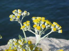 "Picture of Glycolic extract ""Helichrysum"""