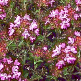 "Picture of Essential oil ""Red Thyme"""