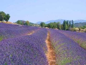 "Picture of Fragranza ""Provence"""