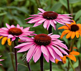 """Picture of Glycolic extract """"Echinacea"""""""