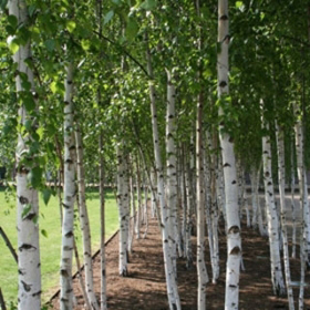 """Picture of Glycolic extract """"Birch"""""""