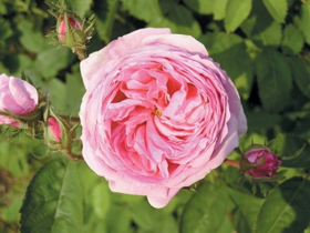 "Picture of Essential oil ""Cabbage rose"""