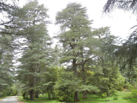 "Picture of Essential oil ""Cedar Wood Morocco"""