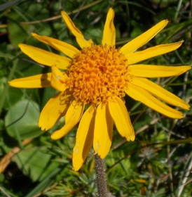 "Picture of Liposoluble extract ""Arnica montana"""
