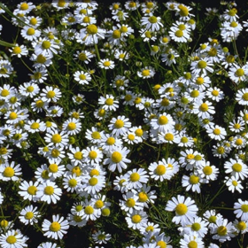 """Picture of Liposoluble extract """" Chamomile """""""