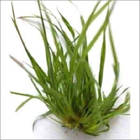 """Picture of Essential Oil """"Vetiver Bourbon"""""""
