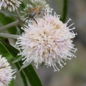 Picture of Alfa bisabololo naturale organico