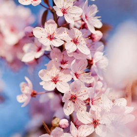 Picture of Fragranza Cherry blossom