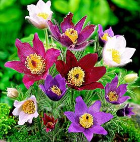Immagine di Fragranza Anemone montana