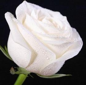 "Picture of Fragranza ""Rosa bianca"""