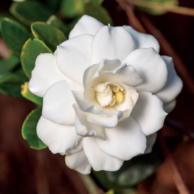 Picture of Fragranza Gardenia