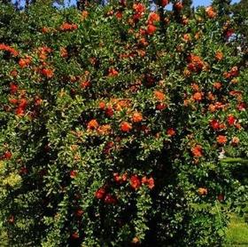 """Immagine di Fragranza """"Pommegranate"""""""