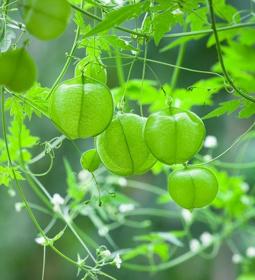 Picture of Estratto idroglicerico cardiospermum