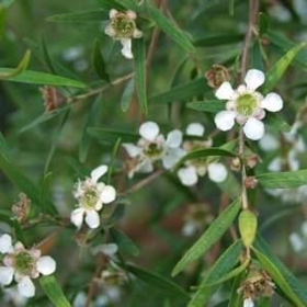 Picture of Olio essenziale Lemon tea tree