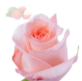 """Immagine di Fragranza """"Rosa indonesiana"""""""