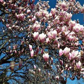 Picture of Fragranza Magnolia tiarè