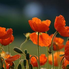 Immagine di Fragranza Fiori d'arancio